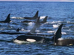 Attack of the Killer Whales: Orcas vs. Grays